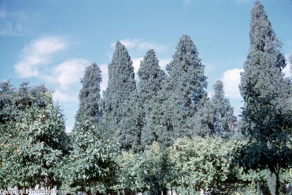 12 January 1963<br /> Nangarhar. Nimla, LD X. Some trees with fruit.