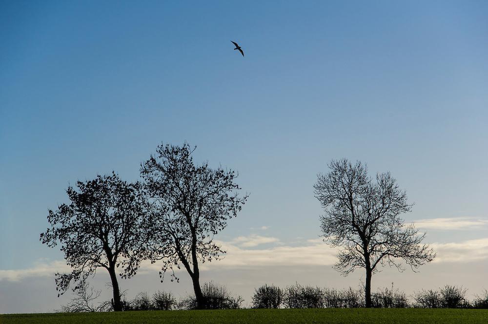 Bird over trees and hedgerow, Stoughton, Leicestershire, England, UK.<br /> Photo: Ed Maynard<br /> 07976 239803<br /> www.edmaynard.com