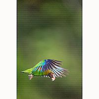 Brown-hooded Parrot (Pyrilia haematotis) in flight near Boca Tapada, Costa Rica, February, 2014.