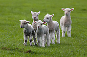 New Zealand Sheep and Lambs