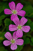 Dwarf Heron's Bill, erodium, cluster of three flowers, Wirral - June