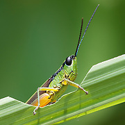 Oxya hyla intricata commonly known as the Rice grasshopper in Thap Lan National Park, Thailand.