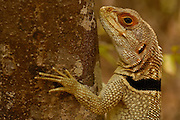 Madagascar spiny tailed lizard (Oplurus cuvieri)<br />