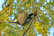 Black and White Warbler - Mniotilla varia feeding on a branch with wing spread