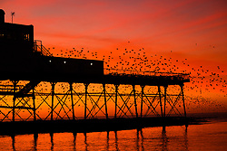 Aberystwyth Wales UK, Monday 18  December 2017<br /> <br /> UK Weather:   As the sun sets in a dramatic flaming red sky on a bright cold December evening in Aberystwyth, Wales,  tens of thousands of starlings descend to settle in chattering masses on the cast iron legs of the town&rsquo;s Victorian era  seaside pier. The birds huddle tightly together for warmth ,  safety and overnight companionship , and look like dark leaves clothing the forest of girders and beams under the floors of the pier.   <br /> <br /> <br /> <br /> <br /> photo &copy; Keith Morris