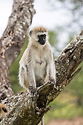 Grivet monkey (Chlorocebus aethiops). This monkey lives in groups of ten to thirty individuals feeding on vegetation, fruits and roots. Occasionally they may feed on small birds and reptiles. Grivets often live near rivers and lakes and are good swimmers. Photographed in Kenya