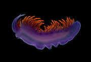 The Spanish shawl (Flabellina iodinea) is a beautiful aeolid nudibranch, or sea slug, found in the coastal waters of Central and Southern California and Baja, Mexico. Its stunning orange, purple, and scarlet colors all come from a single carotenoid compound, astaxanthin, which is obtained from their primary prey, the hydroid, (Eudendrium ramosum).  Cabrillo National Monument San Diego, California, USA
