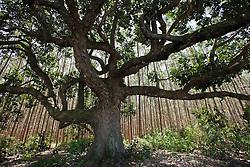 Em Aracruz (ES), a jaqueira centenária resiste ao avanço do deserto verde. Assim como ela, as comunidades indígenas e os povos quilombolas são um gigantesco estorvo para as empresas que controlam a cadeia produtiva da celulose.
