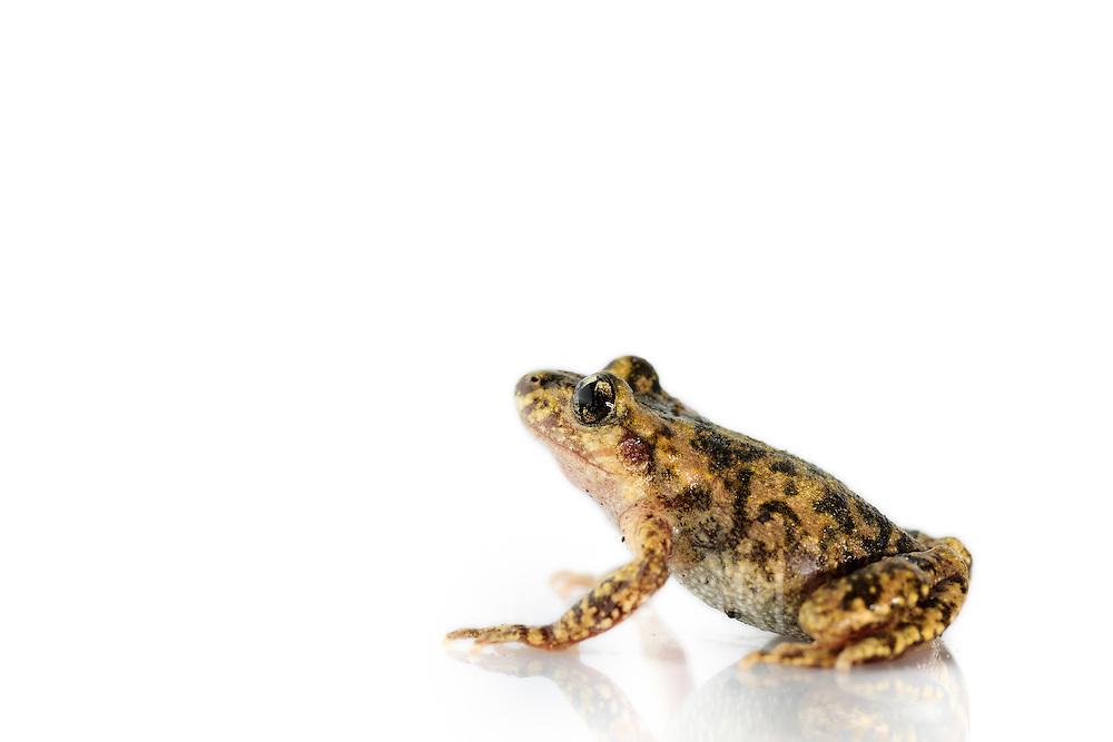 [captive] The Majorcan midwife toad (Alytes muletensis) is endemic to the rocky sandstone terrain of the Serra de Tramuntana in the northwest of Majorca. Spain | Die Mallorca-Geburtshelferkröte (Alytes muletensis), hier ein Weibchen kurz vor der Eiablage, ist mit 3,5 bis 3,8 cm Körperlänge recht klein.