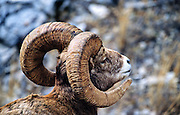 Bighorn sheep ram during rutting season. Sun River Canyon in the Lewis and Clark National Forest, Montana.
