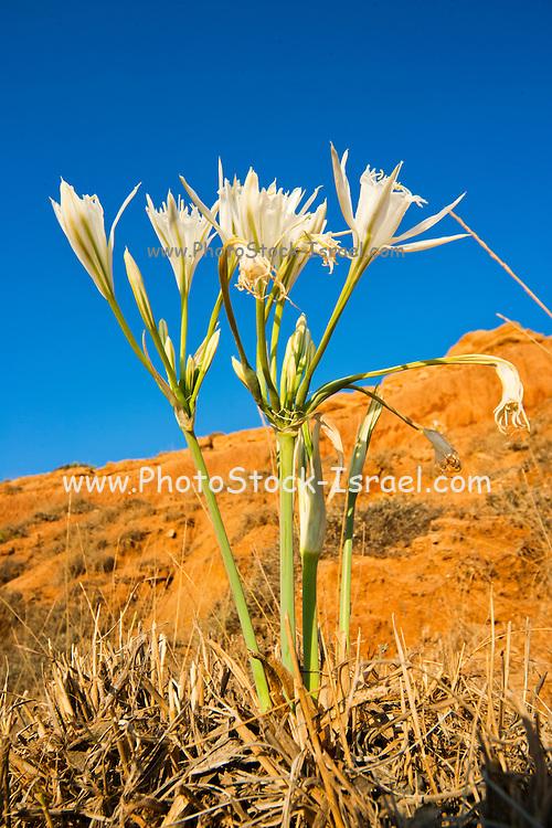 sea daffodil, sea pancratium lily (pancratium maritimum) on the mediterranean coast, israel