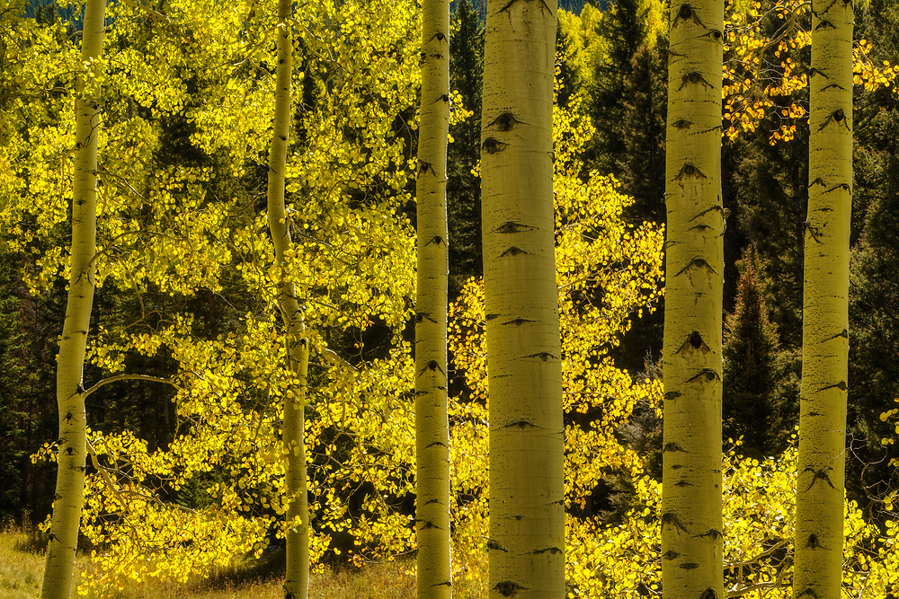 Beautiful fall color graces the aspen forest in the San Juan Mountains of Colorado, USA