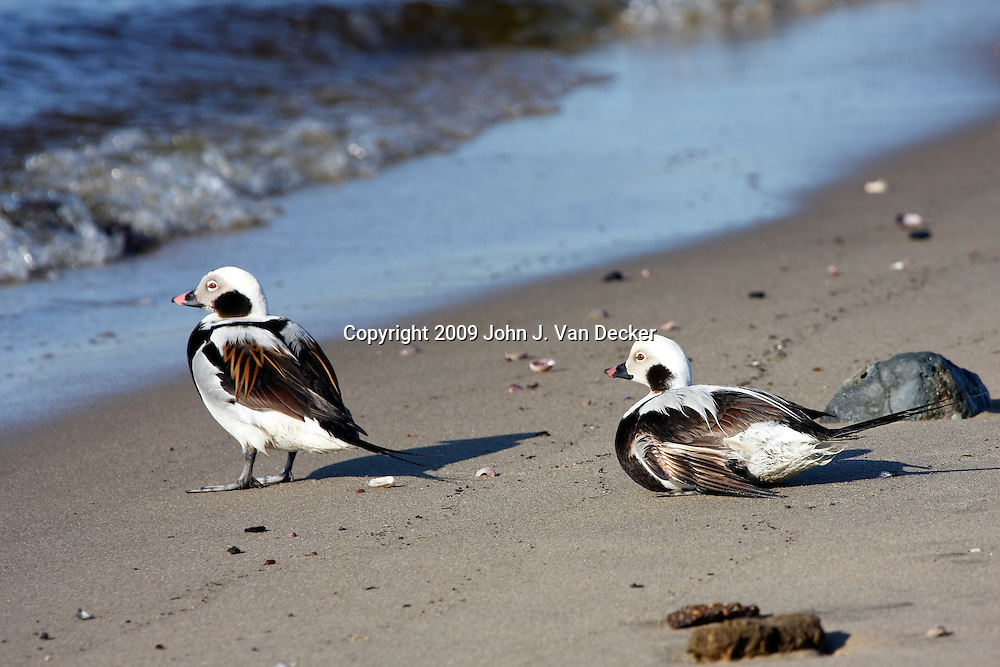 Two Long-tailed Ducks on the beach