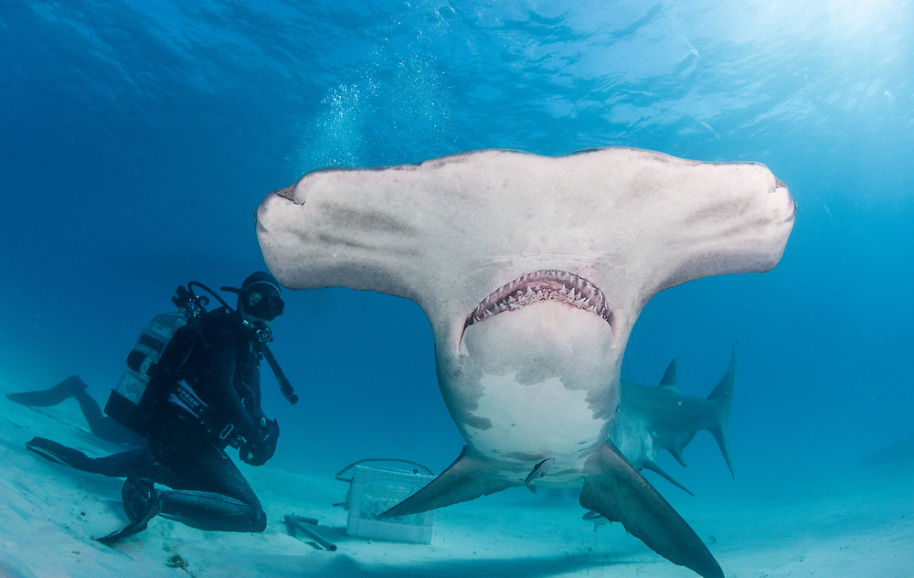 The great hammerhead shark dive off Bimini Island is a recent edition to The Bahamas shark diving circuit. The close proximity to the United States means many foreign liveaboards also enjoy The Bahamian resource without contributing to the local economy causing much controversy among the shark diving community.
