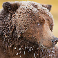 USA, Alaska, Katmai National Park, Ice covers coat of Coastal Brown Bear (Ursus arctos) resting along salmon spawning stream by Kinak Bay on freezing autumn morning