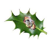Holly Leaf Miner - Phytomyza ilicis