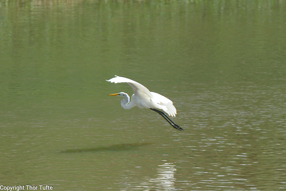 Great Egret in Rio Soco.