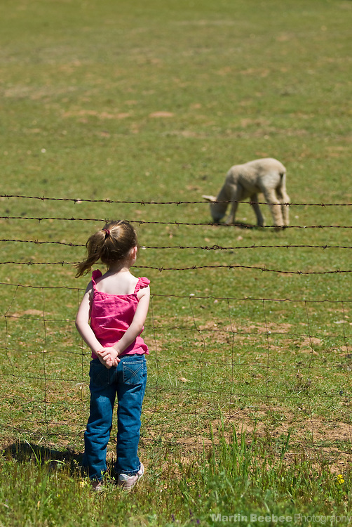A four-year-old girl watches a lamb grazing in a pasture, California