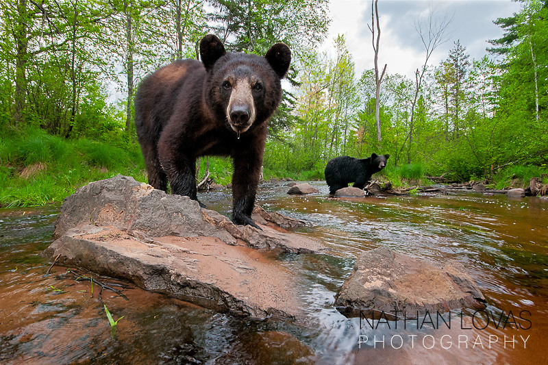 Black bears in river;  image captured with wide angle remote camera.