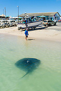 Short-Tailed Stingray scavenging for scraps in the shallow waters of a harbour., Struisbaai Harbour, Western Cape, South Africa.