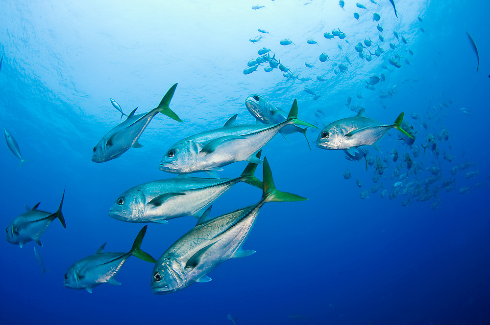 Schooling Horse-Eye Jacks (Caranx latus) in Gladden Spit, Belize. Gladden Spit is a protected are that attracts a variety of reef fish during the full moon to spawn.
