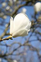 Magnolia flower on a tree