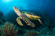 Hawksbill Sea Turtle (Eretmochelys imbricata) in Komodo Island, Indonesia. Image available as a premium quality aluminum print ready to hang.