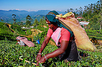 Sri Lanka, province du centre, Nuwara Eliya, plantations de thé de Ceylan, cueillette du thé, cueilleuses tamoules // Sri Lanka, Ceylon, Central Province, Nuwara Eliya, tea plantation in the Highlands, Tamil women tea pickers