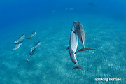 Hawaiian spinner dolphins or long-snouted spinner dolphins, or Gray's spinner dolphins, Stenella longirostris longirostris, courtship, Hookena, Kona, Hawaii ( the Big Island ) Central Pacific Ocean
