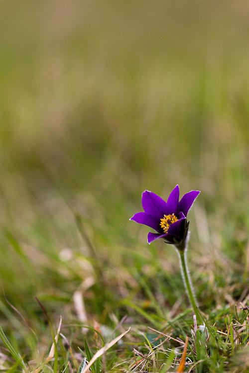 Pasque flower (Pulsatilla vulgaris) flowering on hillside, Pasque Flower GWT nature reserve, Gloucestershire, UK