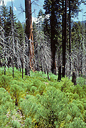 Young Sequoia Trees, Sequoia Tree, Summer, Sequoia and Kings Canyon National Parks, California
