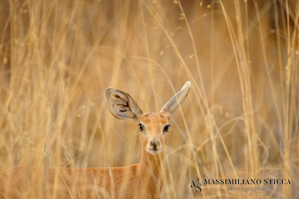 Steenbok are petite antelope, with long legs and an upright stance. The coat is a light golden-brown color, although there is some variation among individuals with some being quite reddish and others more gray. The undersides are white. Steenbok have few distinctive markings: the large eyes are ringed by a fine circle of white hairs, and there is a slender black triangle which starts at the nose and tapers upwards. The ears are extremely large. The horns, found only in males, are straight, sharp, and very upright. They will grow 7-19 cm long.
