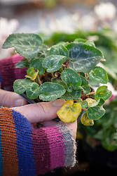 Removing tatty yellow foliage from a pot of cyclamen in the greenhouse