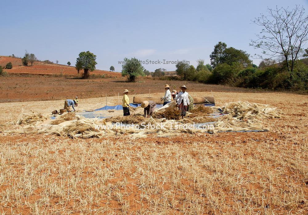 Myanmar, Shan State, Near Heho, peasant women harvest wheat