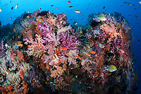 Colorful Soft Corals and Reef Fishes..Shot in West Papua Province, Indonesia