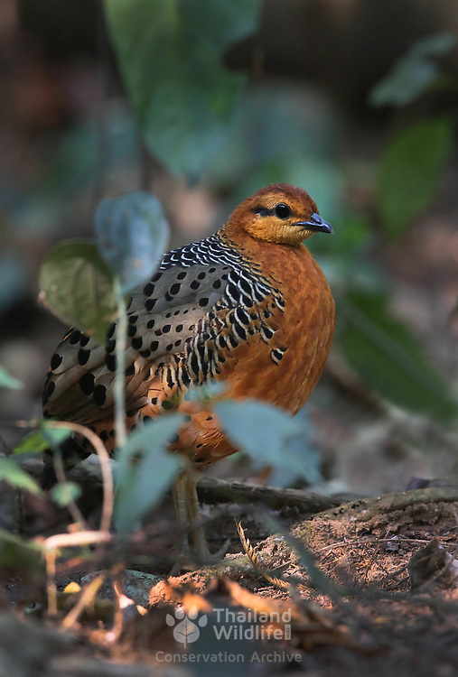 The ferruginous partridge (Caloperdix oculeus) is a species of bird in the family Phasianidae. It belongs to the monotypical genus Caloperdix. It is found in Indonesia, Malaysia, Myanmar, and Thailand.