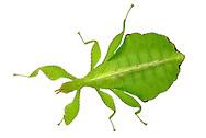 Female of a walking leaf (Phyllium siccifoilum). Walking leaves form a subfamily (Phylliinae) within the order of the ghost insects. Females are about 6-9 cm tall, male, however, only 5 to 6.5 cm in size. Walking leaves are found in tropical and subtropical regions. Their camouflage is perfect: not only the green color let them merge with their  plant habitat, they are rather shaped like a leaf. This camouflage, when an animal takes shape and color of its habitat, and so for visually oriented enemies can no longer be distinguished from the environment is called mimesis. Studio Shot, Goosefeld. / Weibchen eines Wandelndes Blattes (Phyllium siccifoilum). Wandelnde Blaetter bilden eine Unterfamilie (Phylliinae) innerhalb der Ordnung der Gespenstschrecken. Weibchen werden ca. 6-9 cm gross, Maennchen dagegen werden nur 5 bis 6,5 cm gross. Wandelnde Blaetter sind in tropischen bis subtropischen Gegenden zu finden. Ihre Tarnung ist perfekt: nicht nur die gruene Farbe laesst sie mit ihrem pflanzlichen Lebensraum verschmelzen, vielmehr sind sie selbst wie ein Blatt geformt. Diese Tarnung,  bei der ein Lebewesen Farbe und Form seines Lebensraumes annimmt, und so fuer optisch ausgerichtete Feinde nicht mehr von der Umwelt unterschieden werden kann, nennt man Mimese. Studioaufnahme, Goosefeld.
