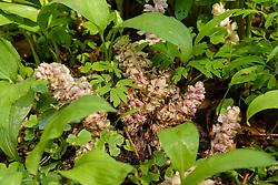 Bleke schubwortel, Lathraea squamaria