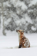 Instead of retreating to a den to sleep during winter weather, red foxes usually curl up right out in the open. Wrapped in their bushy tails, foxes are able stay warm even when they're completely covered by snow. This fellow almost seemed to be enjoying the storm as he took one last stretch before returning to sleep.