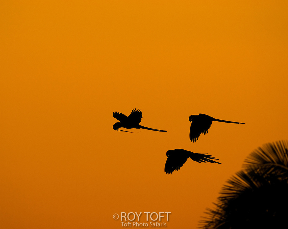 Silhouette of Hyacinth Macaws (Anodorhynchus hyacinthinus)in flight at sunset, Brazil.