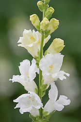 Antirrhinum Chantilly White. Snapdragon