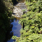 Lush tree ferns line the river bank in the Whanganui National Park, North Island, New Zealand. 30th December 2010. Photo Tim Clayton.