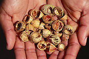 Licuri Palm Nuts<br />