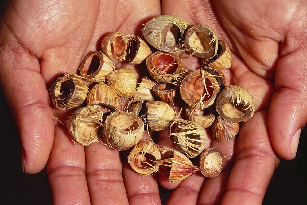Licuri Palm Nuts<br />Syagrus coronata<br />Caatinga of e BRAZIL.  South America<br />Food of Lear's Macaw