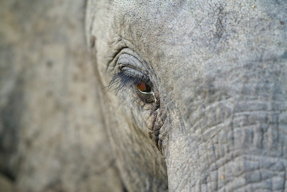 South Africa, Mpumalanga Province, Sabi Sands Game Reserve, Close-up of Elephant (Loxodonta africana) eye while feeding in grasslands at sunset