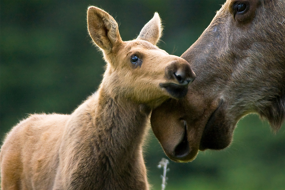 A baby moose calf is aware of its environment and the location of its mother at all times. Do not approach the moose too close.  Danger.