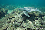 Australian flatback sea turtle, Natator depressus, endemic to Australia and southern New Guinea, swims over coral reef, Australia
