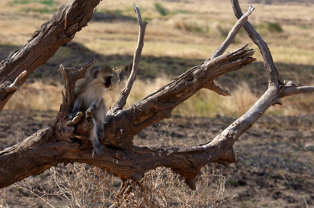 A vervet monkey looks across the vast plain.