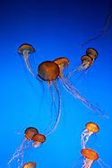 US-MONTEREY: Jelly-fish at the Monterey Aquarium . PHOTO: GERRIT DE HEUS