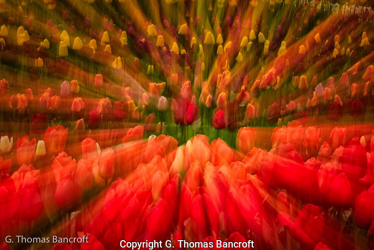 The layers of tulips formed a wonderful design with reds in the front, purples and yellows in the back